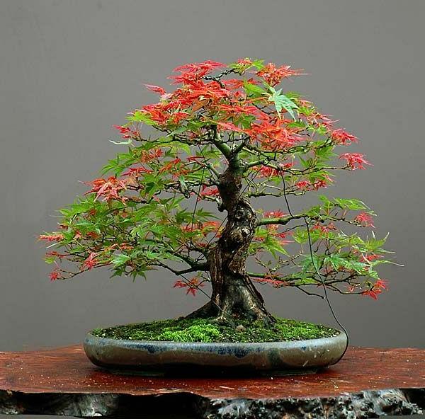 érable-japonais-bonsai-magnifique