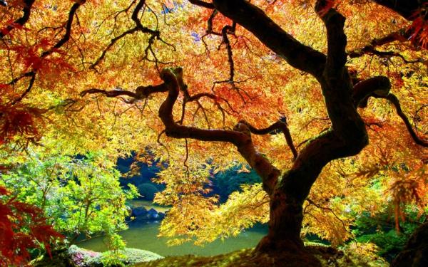 érable-japonais-couronne-d'érable-du-japon