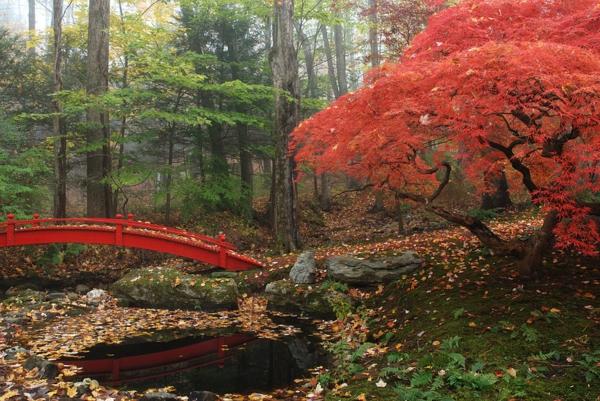 érable-japonais-jardin-japonais-avec-un-pont-rouge