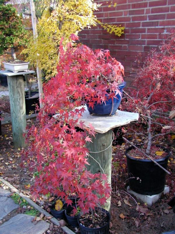 érable-japonais-la-couleur-de-l'automne
