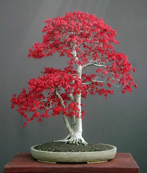 érable-japonais-petit-érable-extraordinaire