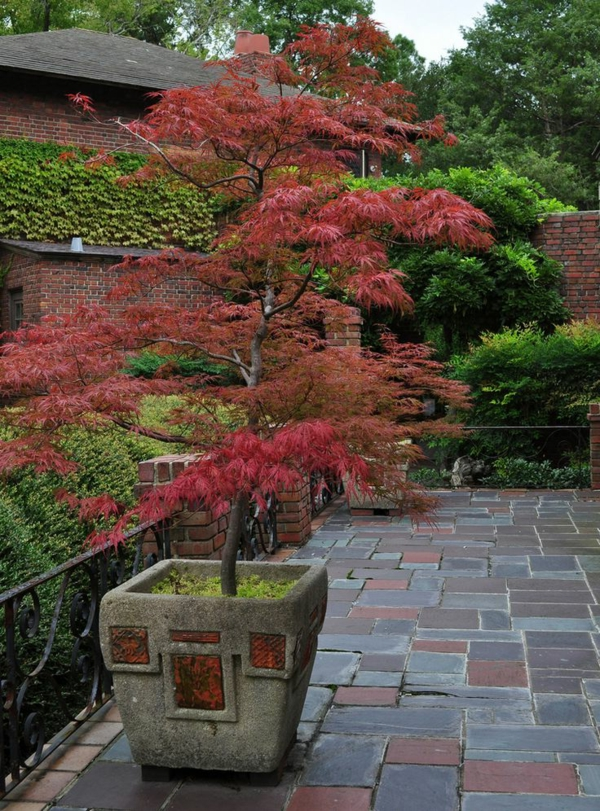 érable-japonais-planté-dans-un-pot-de-fleur