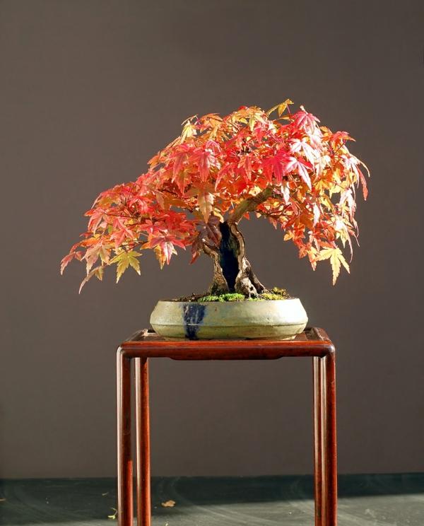 érable-japonais-un-arbre-extraordinaire