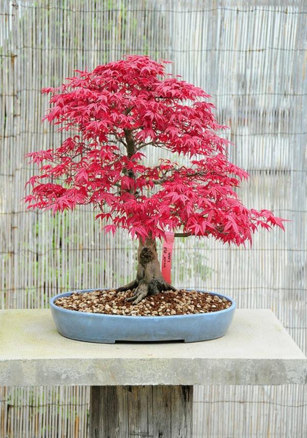 érable-japonais-un-bonsai