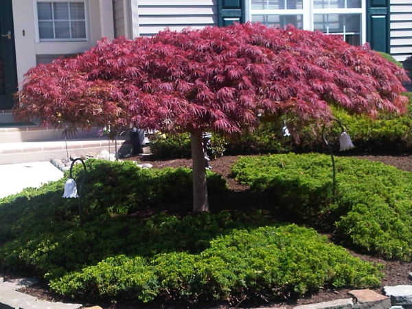 D coration avec un rable japonais - Petit arbre d interieur ...