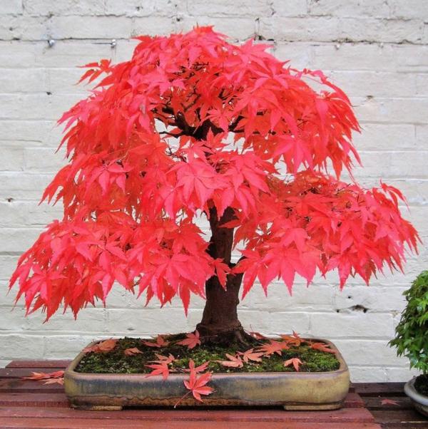érable-japonais-un-petit-arbre-au-feuillafe-éclatant