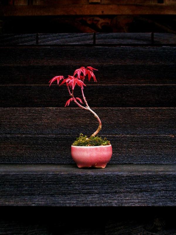 érable-japonais-un-petit-arbre-fragile