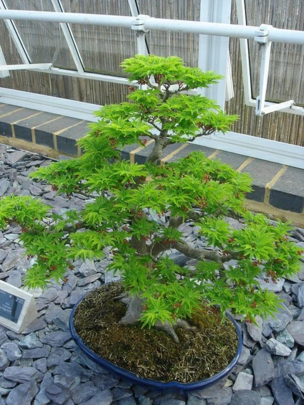 érable-japonais-vert-bonsai