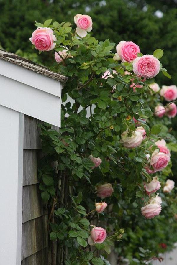 1-haie-rose