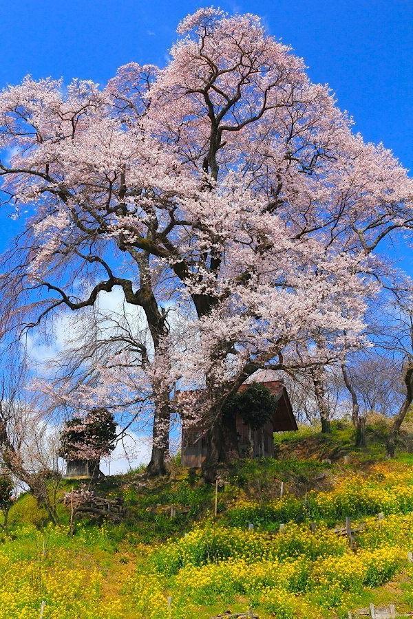 cerisier-japonais-à-Fukushima
