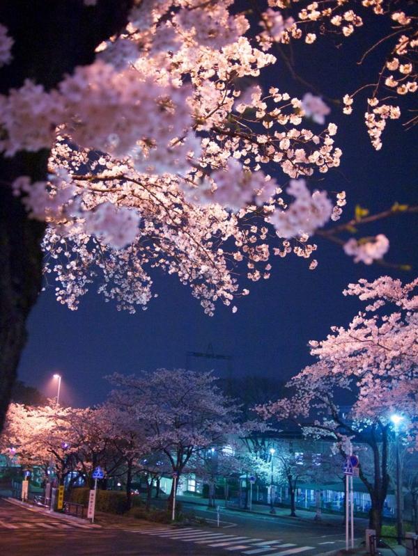 cerisier-japonais-la-beauté-des-cerisiers-japonais