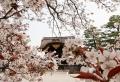 Le cerisier japonais – 85 points de vues