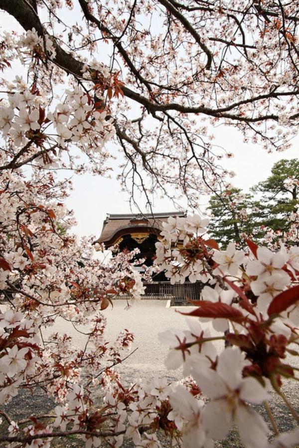 cerisier-japonais-Hanami-au-Japon