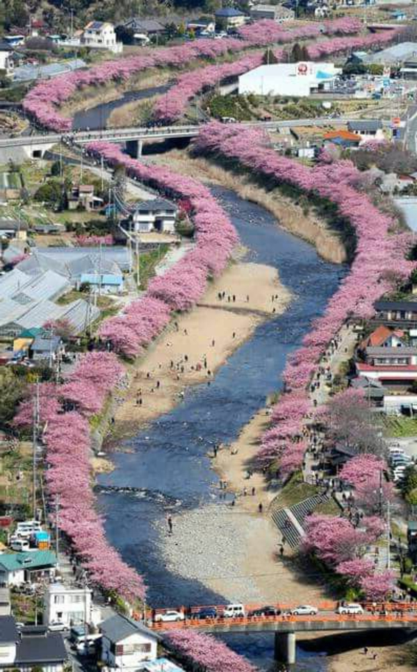 cerisier-japonais-Kyoto-au-printemps