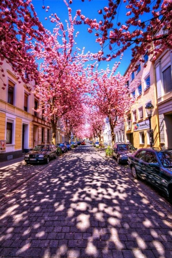 cerisier-japonais-allée-au-printemps