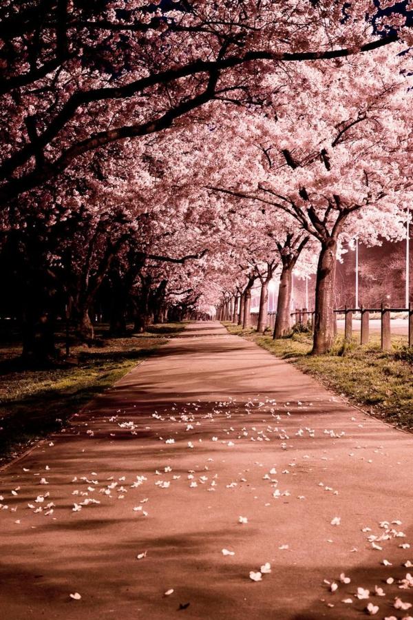 cerisier-japonais-allée-printanière