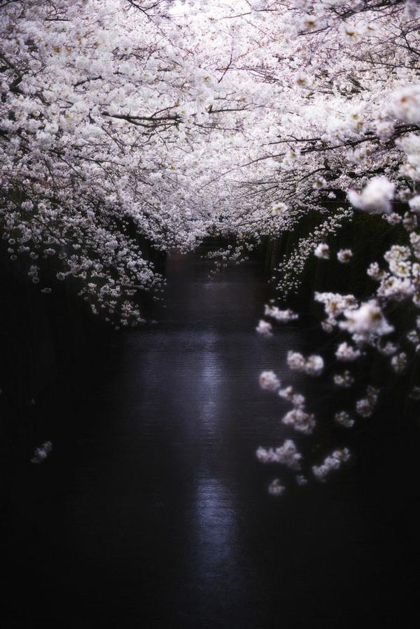 cerisier-japonais-au-dessus-de-l'eau
