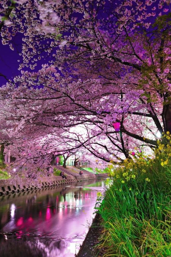 cerisier-japonais-au-dessus-du-canal