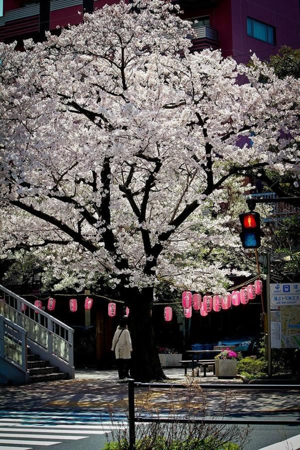 cerisier-japonais-au-mois-d'avril-et-lanternes-roses