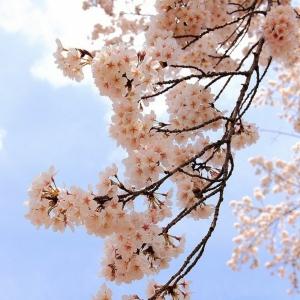 Le cerisier japonais - 85 points de vues