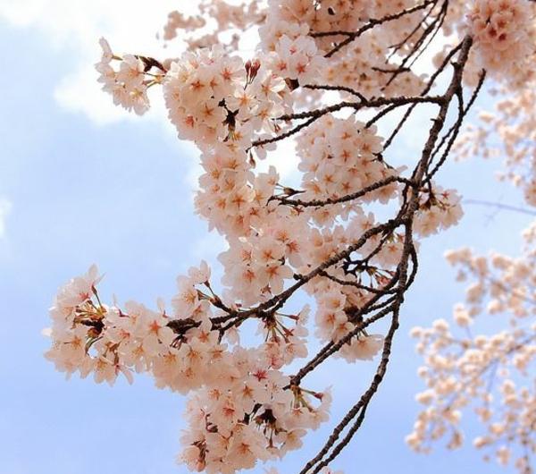 cerisier-japonais-branche-magnifique-fleurie