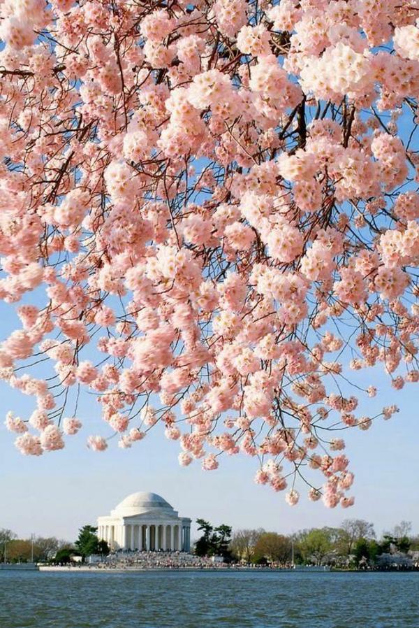 cerisier-japonais-cerisier-fleuri-à-Washington