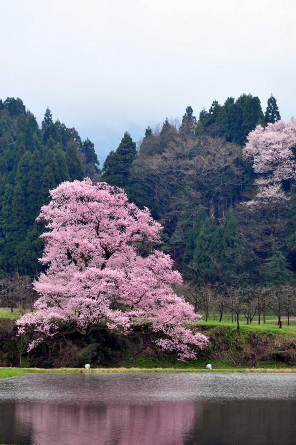 cerisier-japonais-cerisier-solitaire