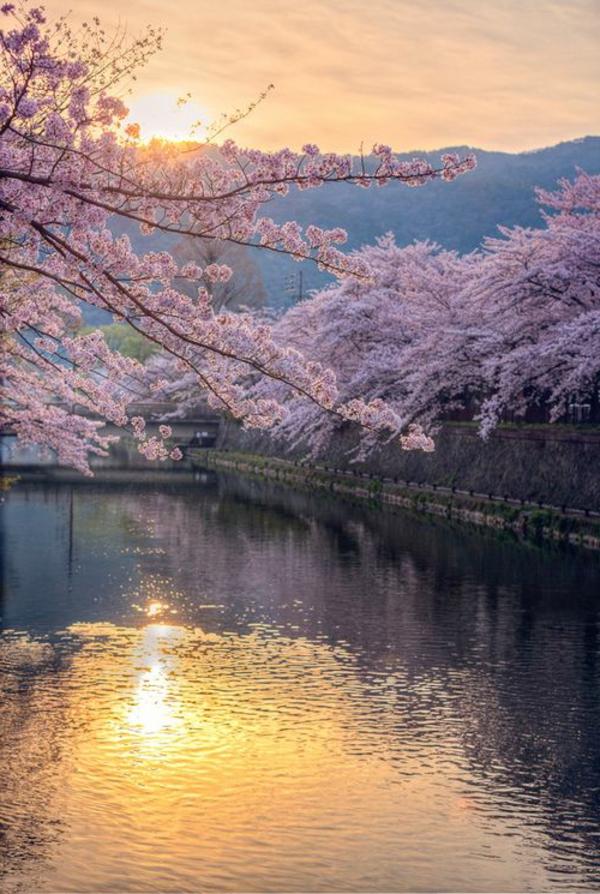 cerisier-japonais-cerisiers-fleuris-au-dessus-del'eau