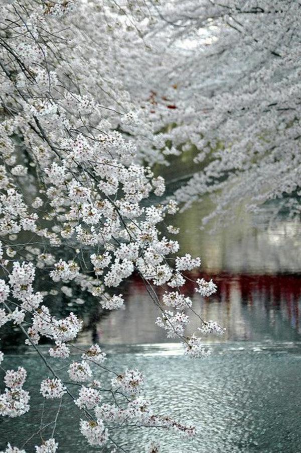 cerisier-japonais-cerisiers-penchés-au-dessus-de-la-rivière