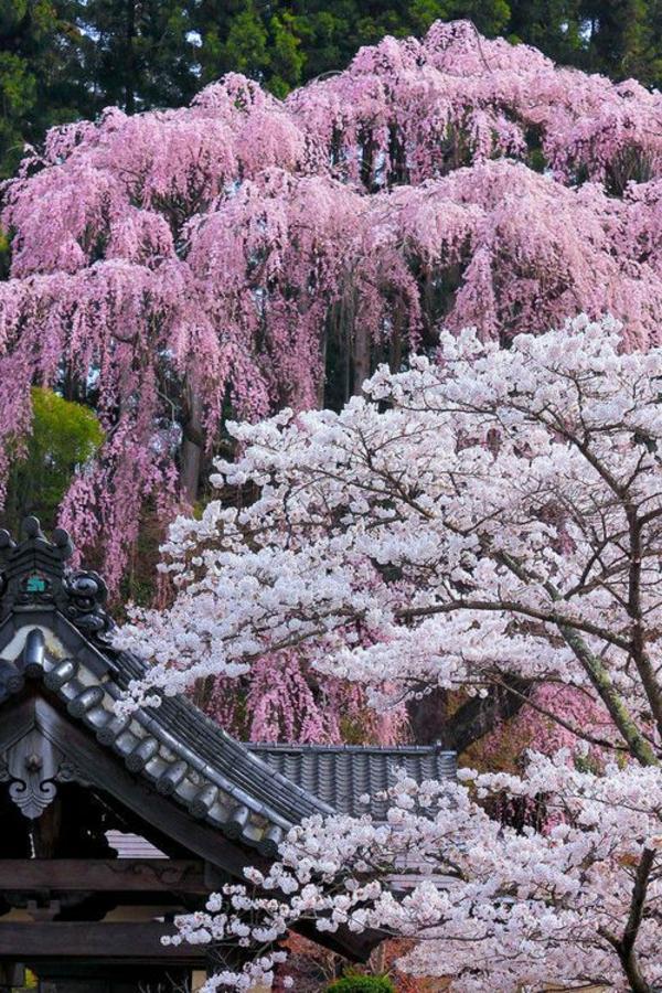 cerisier-japonais-différentes-couleurs