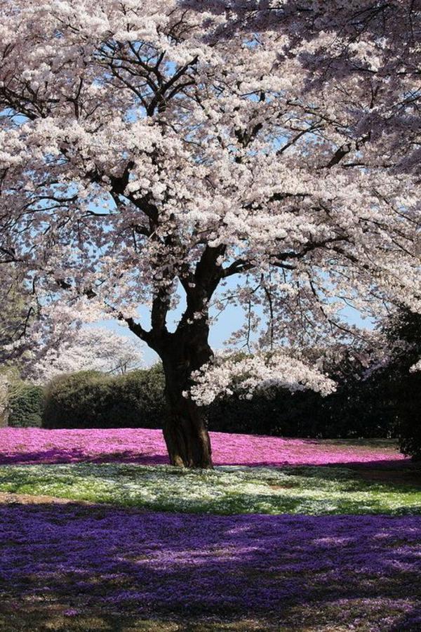 cerisier-japonais-et-plaine-printanière