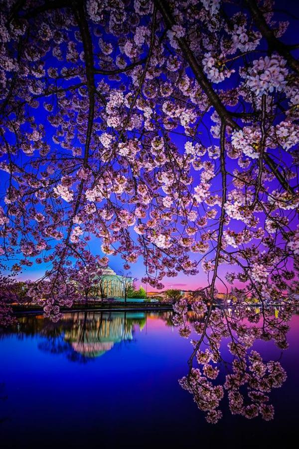 cerisier-japonais-et-un-grand-temple-les-couleurs-de-la-nuit