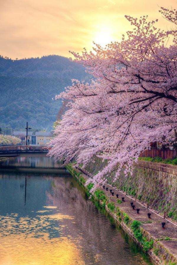 cerisier-japonais-floraison-au-dessus-du-canal