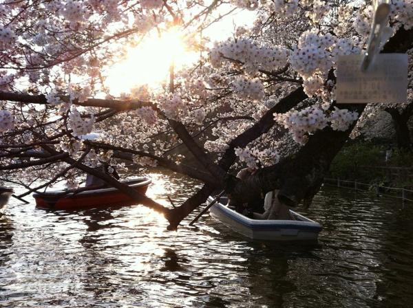 cerisier-japonais-floraison-au-dessus-d'un-lac
