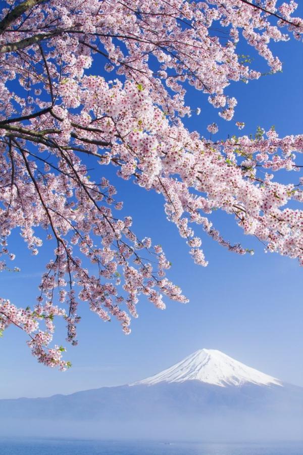 cerisier-japonais-la-beauté-de-la-nature-japonaise