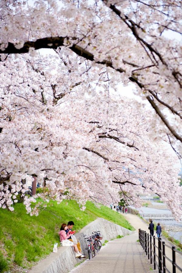cerisier-japonais-la-fête-des-cerisiers