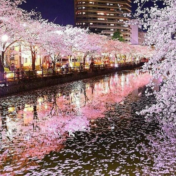 cerisier-japonais-la-floraison-des-cerisiers-au-printemps