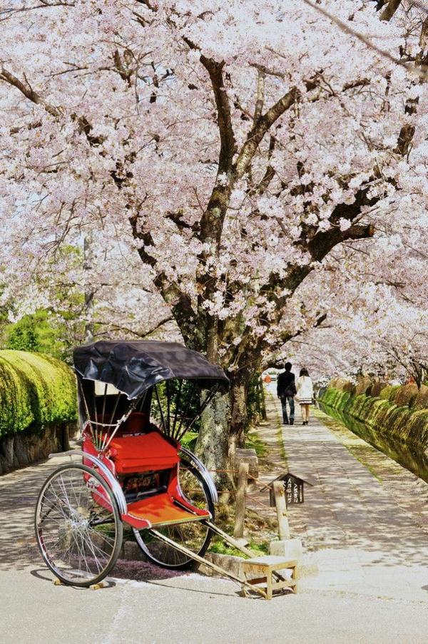 cerisier-japonais-la-floraison-des-cerisiers