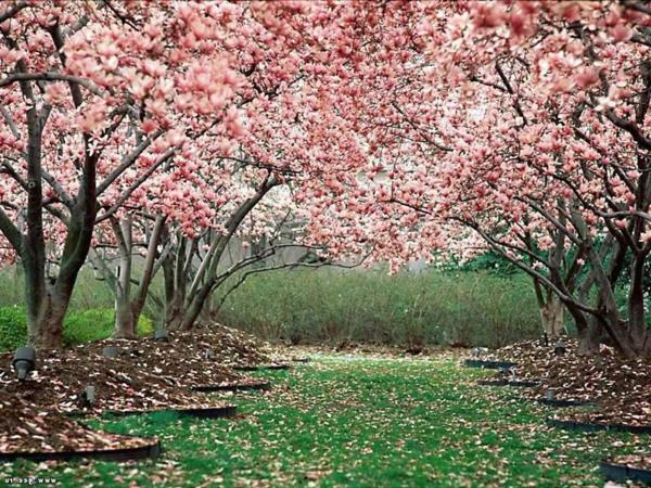 cerisier-japonais-la-floraison-japonaise-du-cerisier