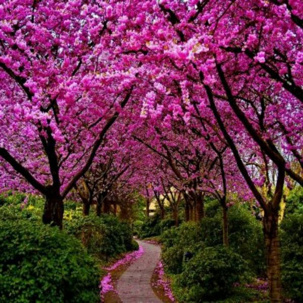 cerisier-japonais-la-floraison-pourpre