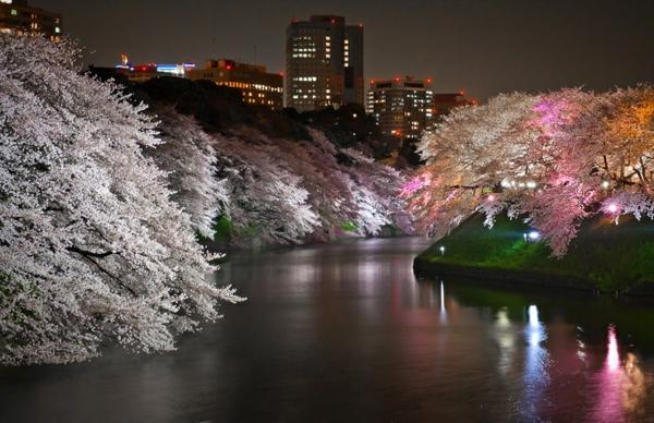 cerisier-japonais-la-rivière-et-les-cerisiers