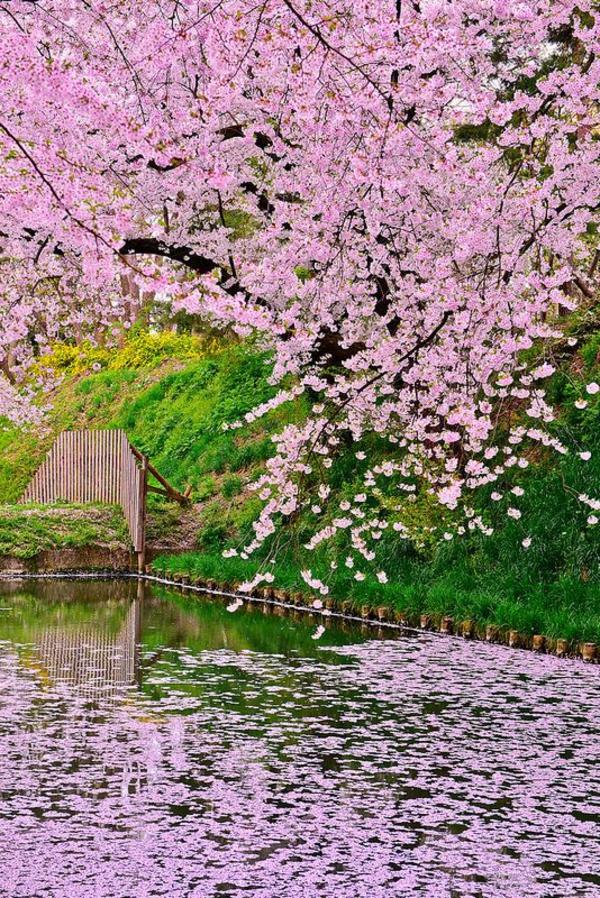 cerisier-japonais-la-rivière-rose