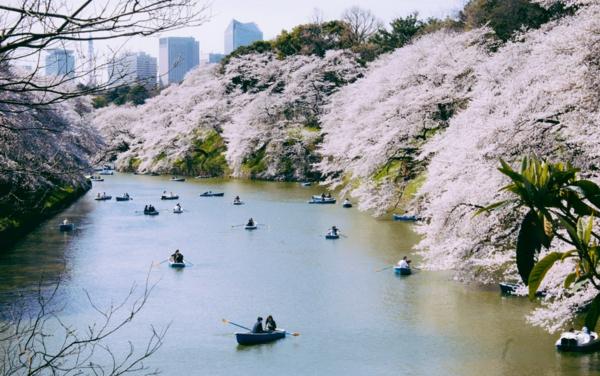cerisier-japonais-le-sakura-au-dessus-de-la-rivière