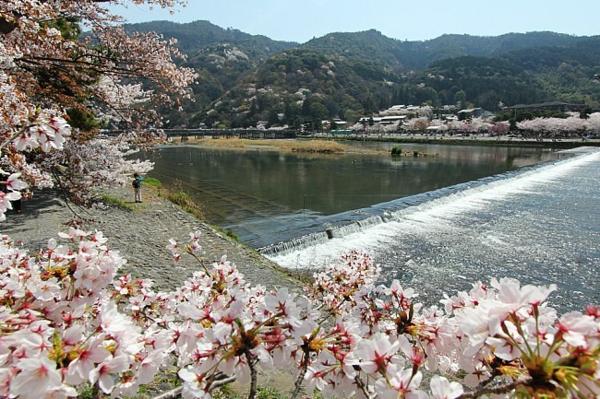 cerisier-japonais-les-cerisiers-à-Kyoto