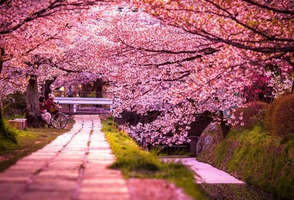 cerisier-japonais-pétales-roses-épanouis