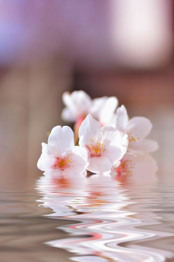 cerisier-japonais-pétales-roses-dans-l'eau