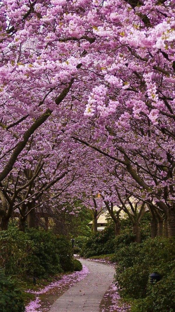cerisier-japonais-petit-sentier-sous-les-arbres