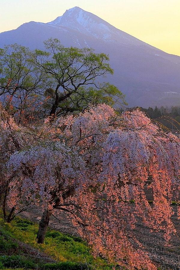 cerisier-japonais-pleureur-épanoui