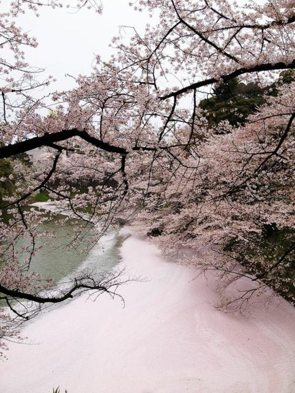 cerisier-japonais-rivière-rose-de-pétales