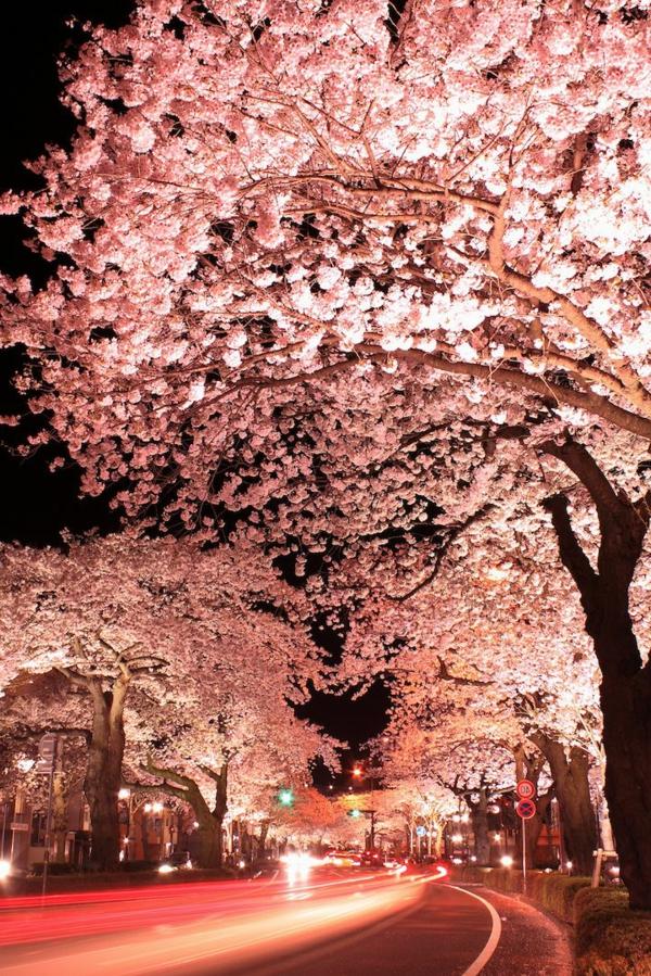 cerisier-japonais-route-japonaise-au-printemps